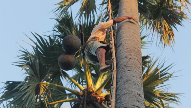 A man climbs a palm tree in Upper Burma to collect its sap. (Photo: Law Weng / The Irrawaddy)