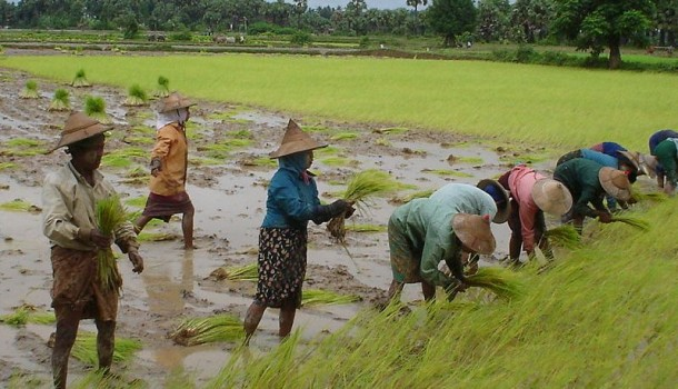 Burmese rice farmers in the Irrawaddy Delta. (Photo: WikiMedia)
