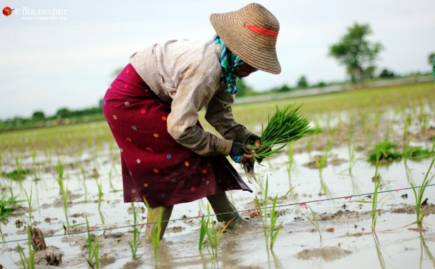 Farmers in Ma U village in Rangoon Division's Helgu Township, plant their paddy. They own the USDP $235,000 in loans and the party wants it back. (Photo: JPaing / The Irrawaddy)