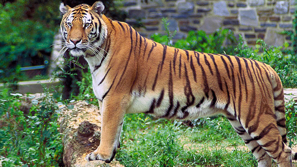 India, tiger, disease, environment, canine distemper