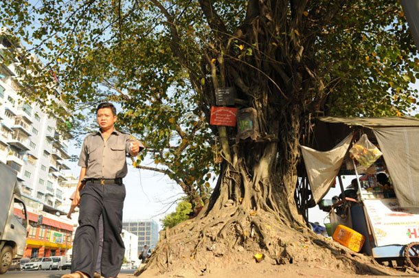 A man walks by a venerated old tree in downtown Yangon. (Photo: Sai Zaw / The Irrawaddy)