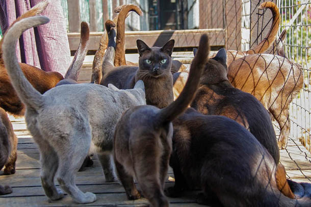 Burmese cats, Inle Lake, Inthar Heritage House, Shan State, animal, Yin Myo Su