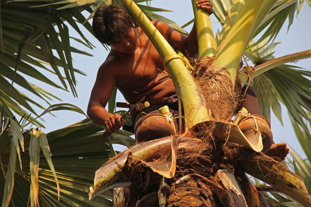 "A man steadies himself at the top of a toddy palm tree, as he collects pots filled with ""sky beer"" to serve to visitors at a village near Mandalay. (Photo: Zarni Mann / The Irrawaddy)"