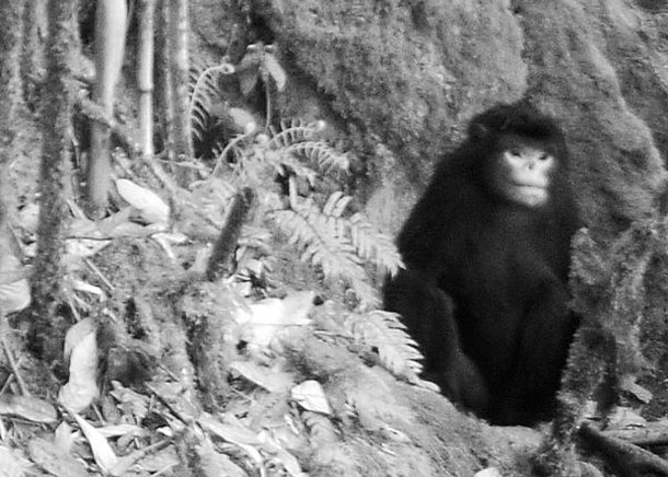 The critically endangered Myanmar Snub-nosed Monkey photographed with a camera trap in 2010. (Photo: FFI)