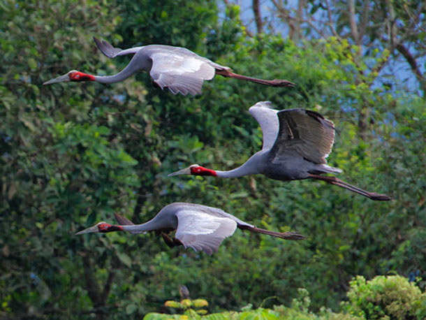 The rare sarus crane take flight. (Photo: www.bjornolesen.com)