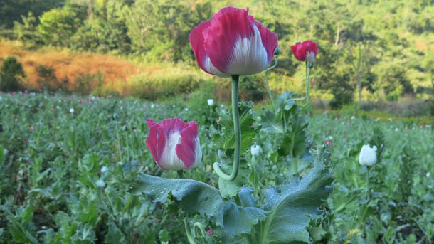 A poppy flower grows at an opium plantation in Shan State. (Photo: Kyaw Kha / The Irrawaddy)