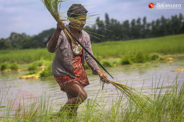 A female farm worker carries rice shoots for planting in the Irrawaddy Delta. (Photo: JPaing / The Irrawaddy)