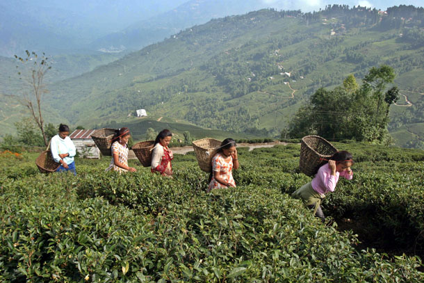 Workers gather tea leaves at a tea garden estate in Darjeeling, about 50 miles from the northeastern Indian city of Siliguri, in October 2006. (Photo: Reuters)