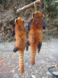 Poached red pandas are seen dangling from pole in a village in Kachin State. (Photo: FFI)