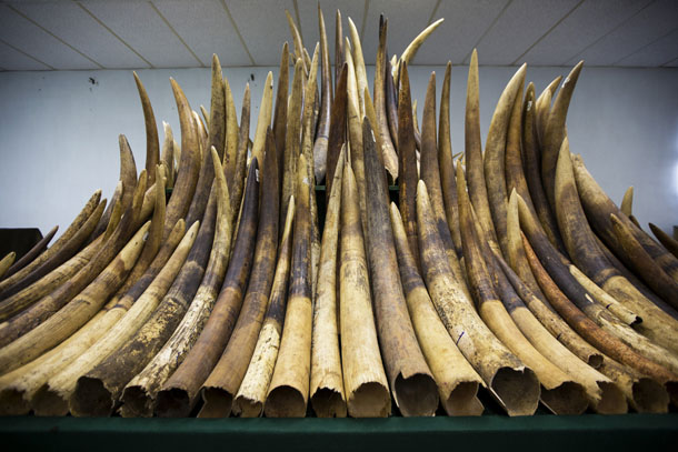 Ivory tusks are displayed after the official start of the destruction of confiscated ivory in Hong Kong May 15, 2014.(Photo: Reuters)