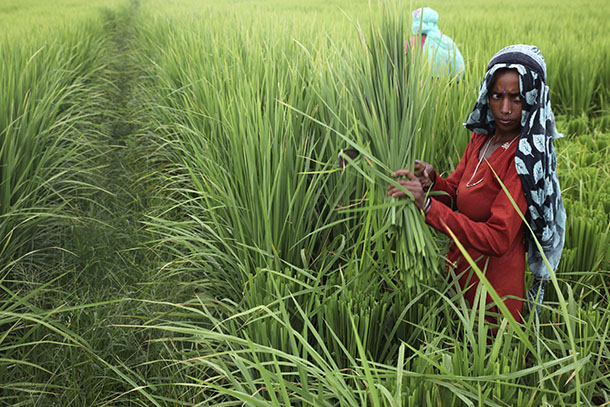 Laborers work in a paddy field in Birnaraya village in Karnal district in the northern Indian state of Haryana September 2, 2014. (Photo: Reuters)