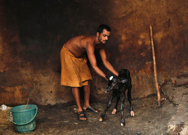 A Sadhu or a Hindu holyman tends to a newborn calf at a goushala or a cow shelter in the old quarters of Delhi on June 19, 2013. (Photo: Reuters)