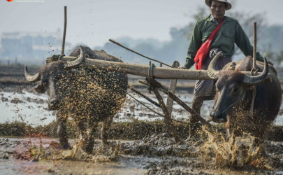 Just a few miles from Burma's national Parliament, farmers plow their fields with water buffalo and prepare the ground for another round of rice. (Photo: JPaing / The Irrawaddy)