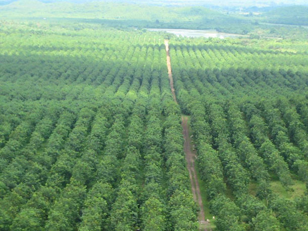 An aerial view of the Shwe Yaung Pya rubber plantation in February of this year. (Photo supplied by Max Myanmar).