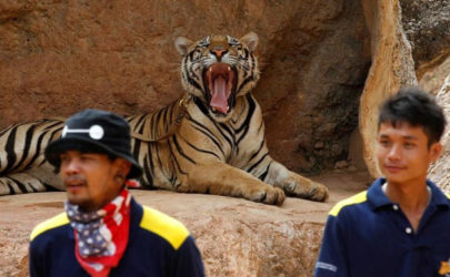 A tiger yawns before the officials start moving them from Thailand's controversial Tiger Temple in Kanchanaburi province, west of Bangkok, on May 30, 2016. (Photo: Reuters)