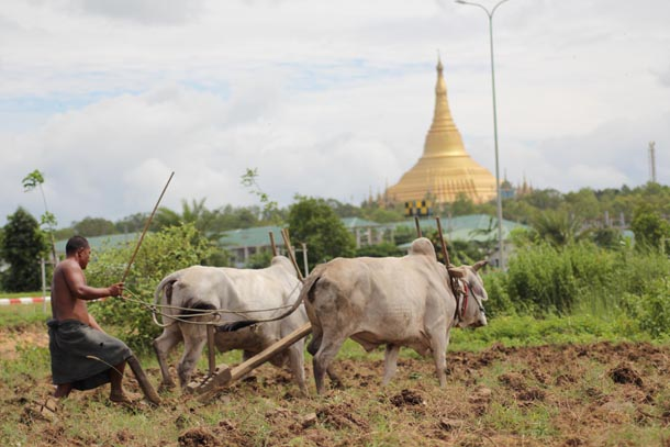 The drop in rice production follows the devastating impact of Cyclone Komen, which ravaged the farm sector with heavy flooding in 12 out of 14 states and regions from June to August last year. (Photo: Nyein Chan / Myanmar Now)