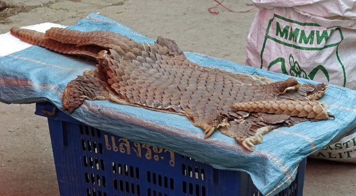 The skins of Chinese pangolins, a critically endangered species on the IUCN Red List, for sale in the Mongla market. (Photos: Naomi Hellmann)