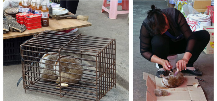 Slow loris, a vulnerable species on the IUCN Red List, are sold alive and slaughtered for parts in the Mongla market. (Photos: Naomi Hellmann)