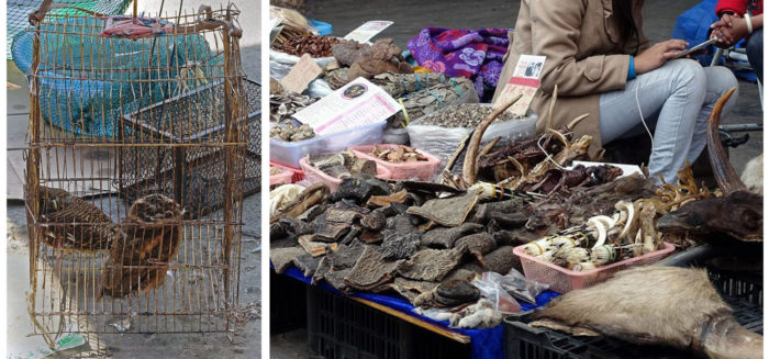 At the Mongla market: two live owls cower in a cage, while blocks of elephant hide and other parts are offered. (Photos: Naomi Hellmann)