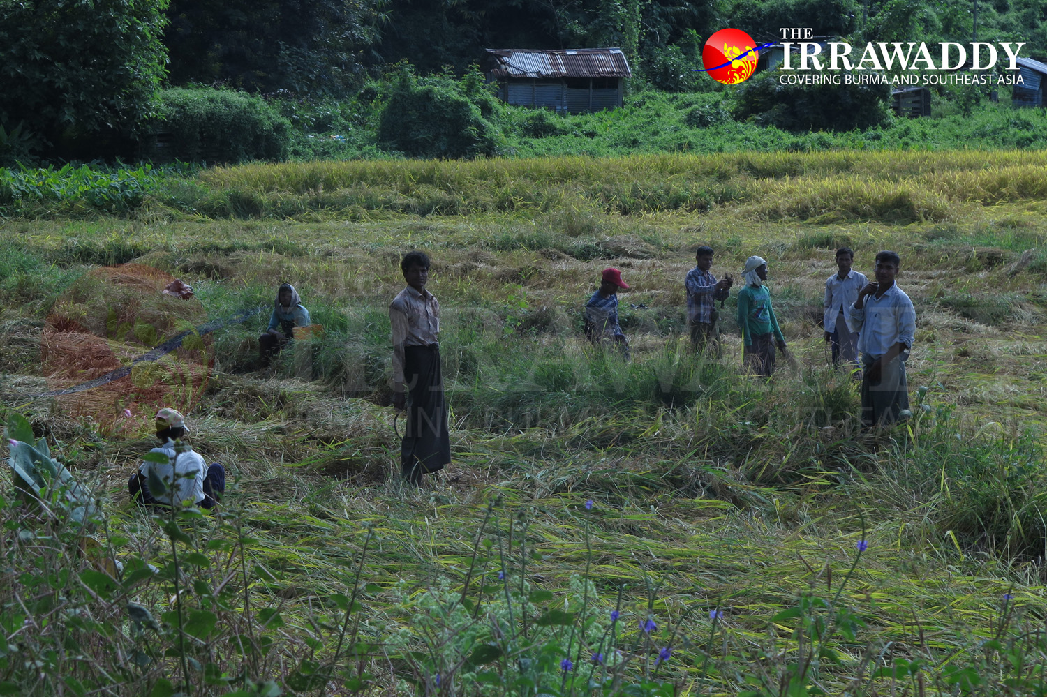 Muslim villagers work as day laborers harvesting rice near the destroyed village of Wa Piek in Maungdaw Township. (Photo: Moe Myint / The Irrawaddy)