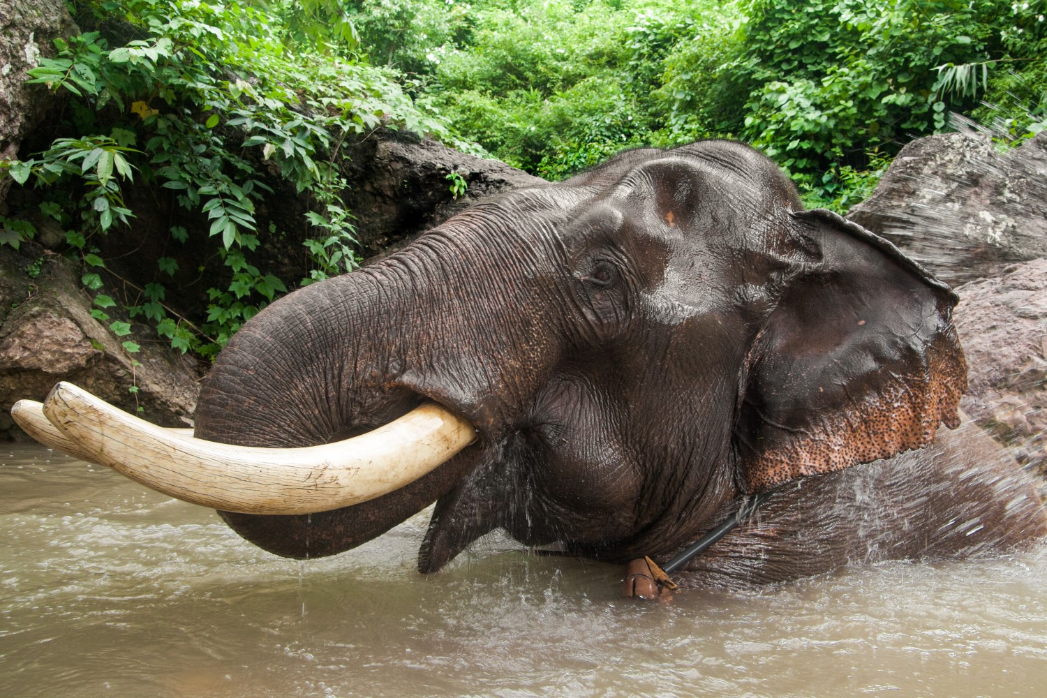 elephant poaching essay In this essay i will explain how there is a tie between animal abuse and poaching wildlife and how that connection helps us to better understand why people poach when poaching or hunting an animal many people focus on the size of the animal,  elephant poaching.